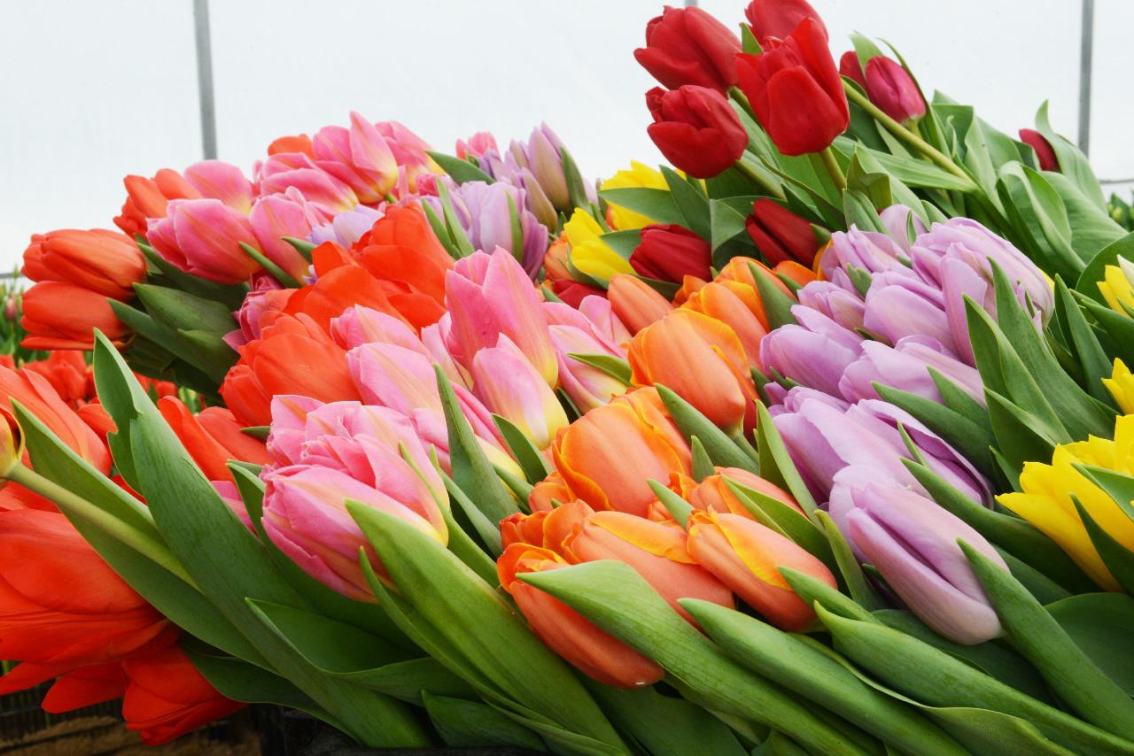 Картинки, видео поздравление с тюльпанами